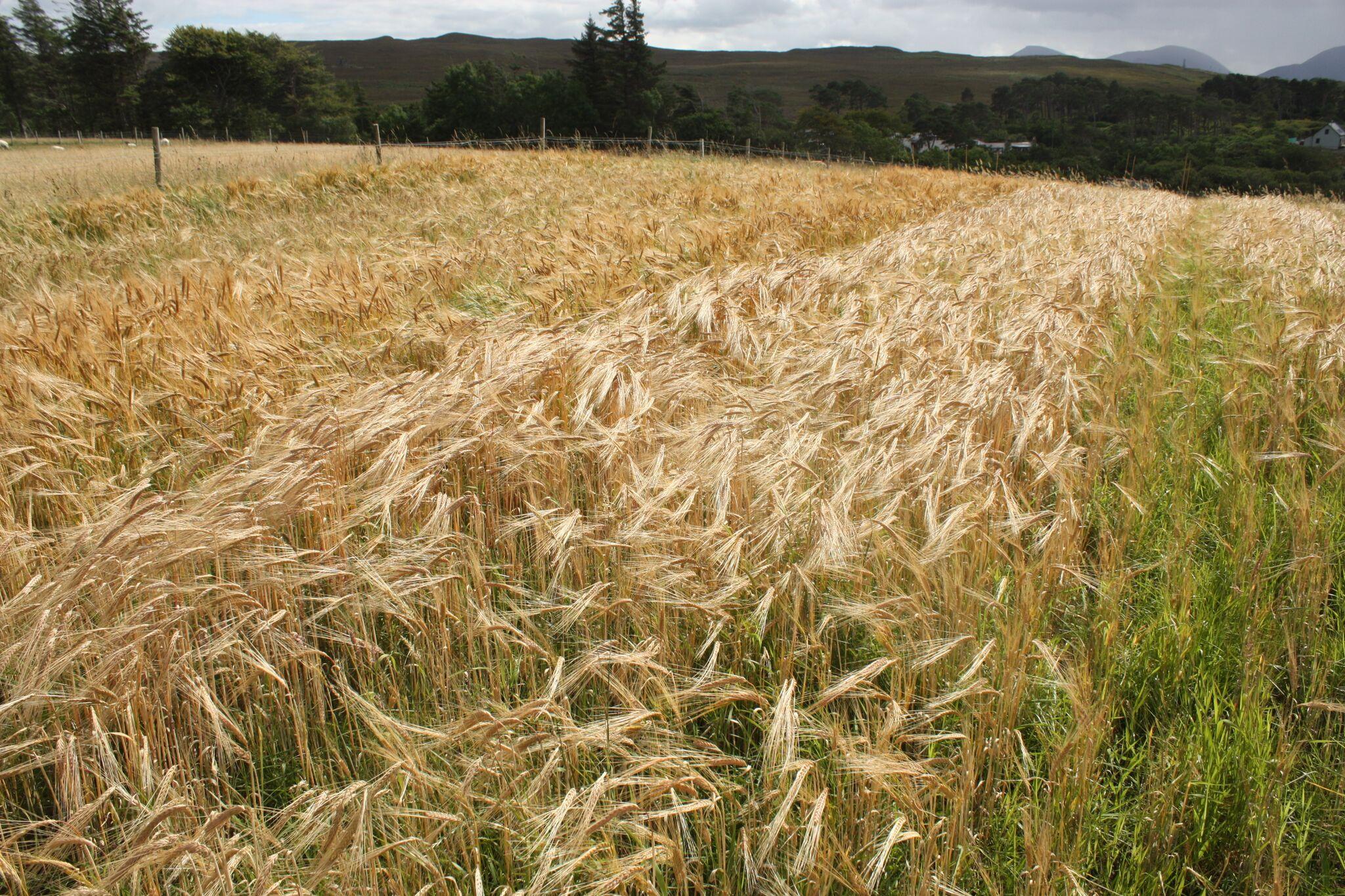 malting barley