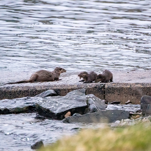 Otter & Cubs on shoreline of Raasay