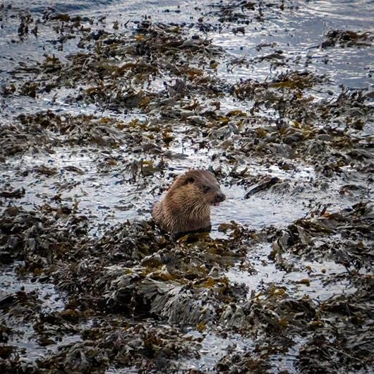 Raasay otters in Seaweed Suisnish