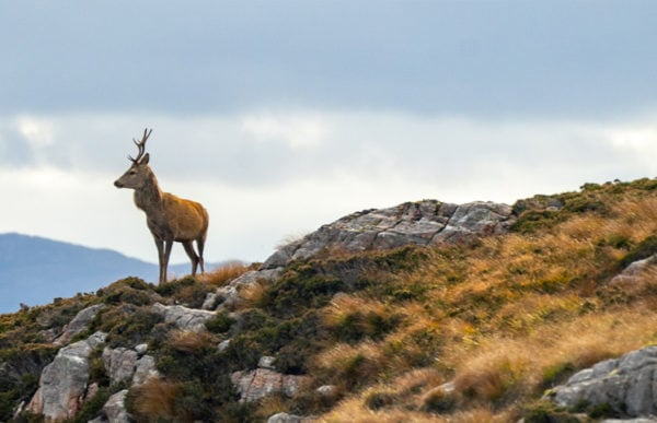 Red Deer on hills Featured Image