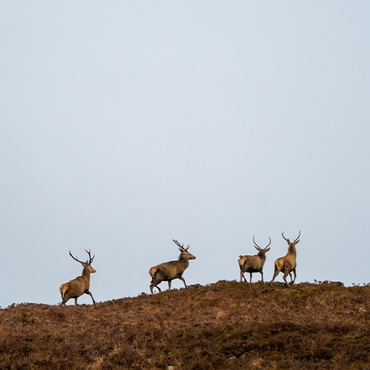 Red Deer running on Raasay Hills